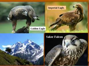 Imperial Eagle. Golden Eagle Saker Falcon