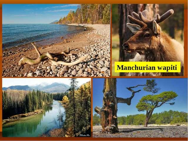 Manchurian wapiti
