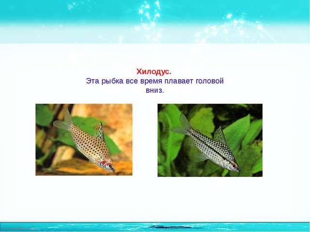 Хилодус. Эта рыбка все время плавает головой вниз. http://linda6035.ucoz.ru/