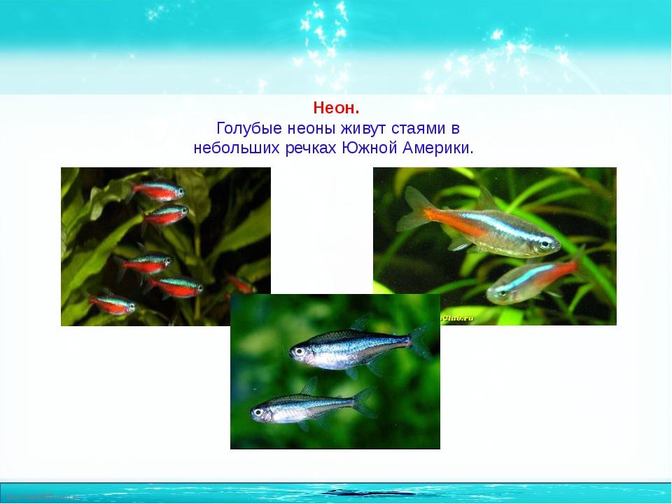 Неон. Голубые неоны живут стаями в небольших речках Южной Америки. http://lin...
