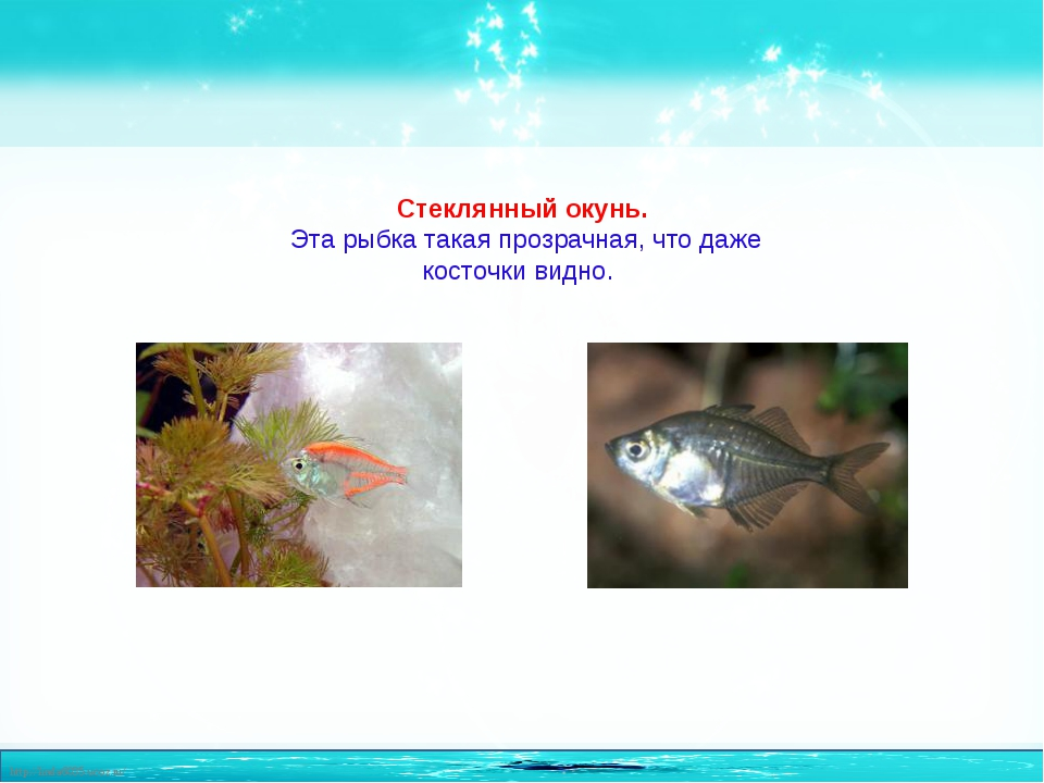 Стеклянный окунь. Эта рыбка такая прозрачная, что даже косточки видно. http:/...