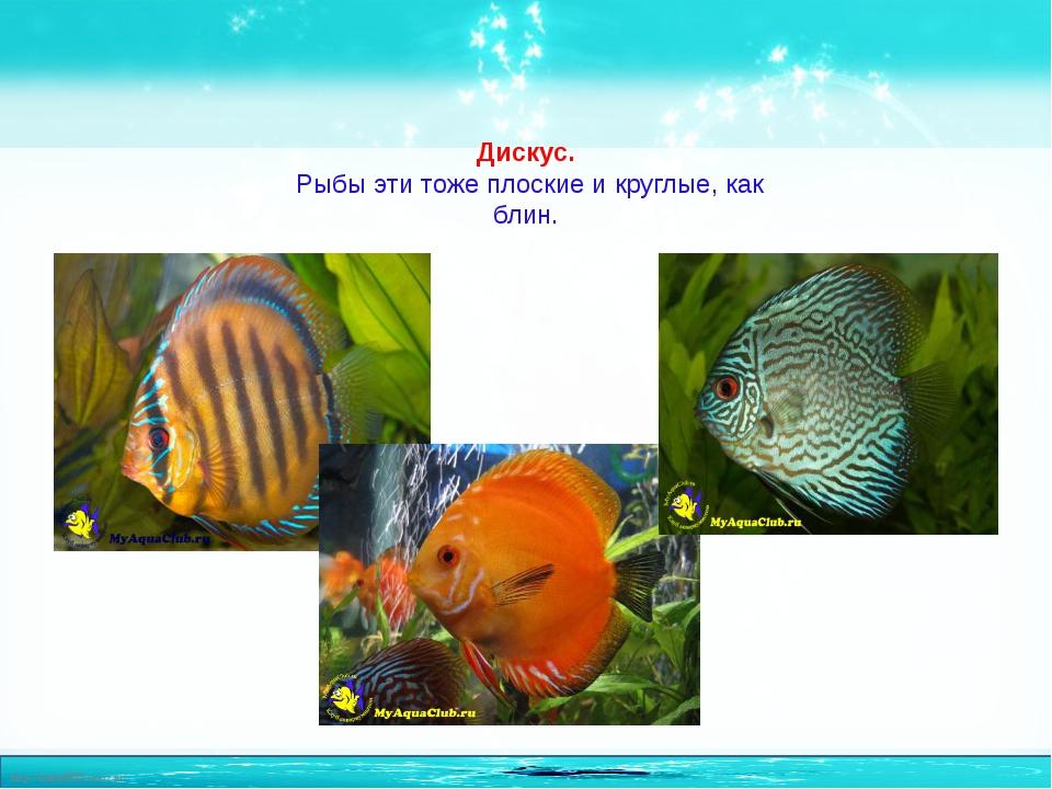 Дискус. Рыбы эти тоже плоские и круглые, как блин. http://linda6035.ucoz.ru/
