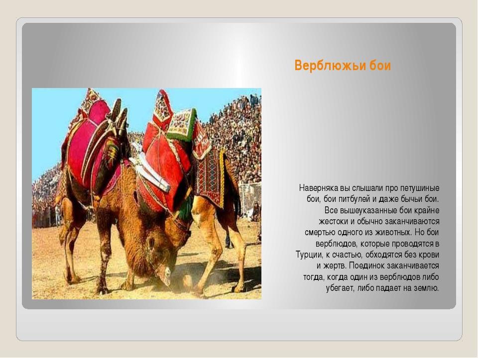 Верблюжьи бои Наверняка вы слышали про петушиные бои, бои питбулей и даже быч...