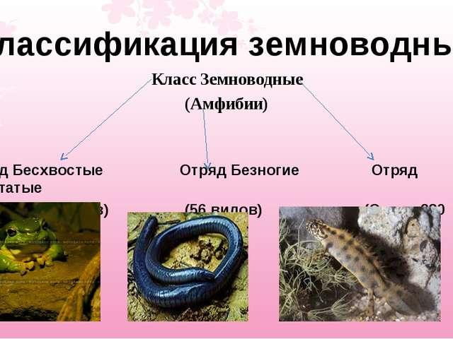 Классификация земноводных Класс Земноводные (Амфибии) Отряд Бесхвостые Отряд...