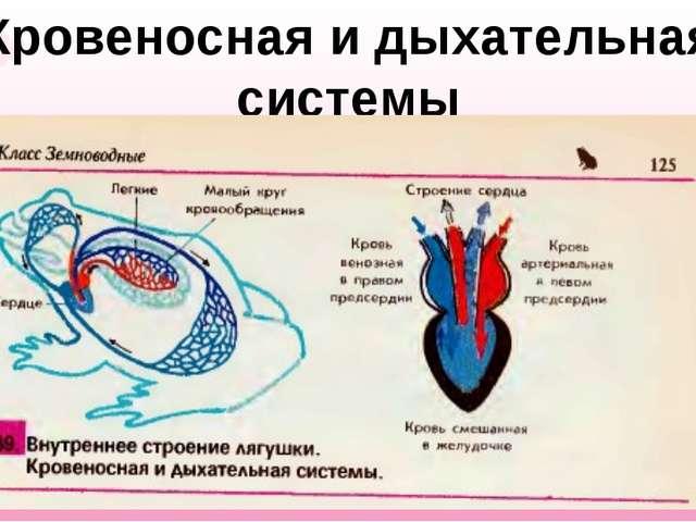 Кровеносная и дыхательная системы