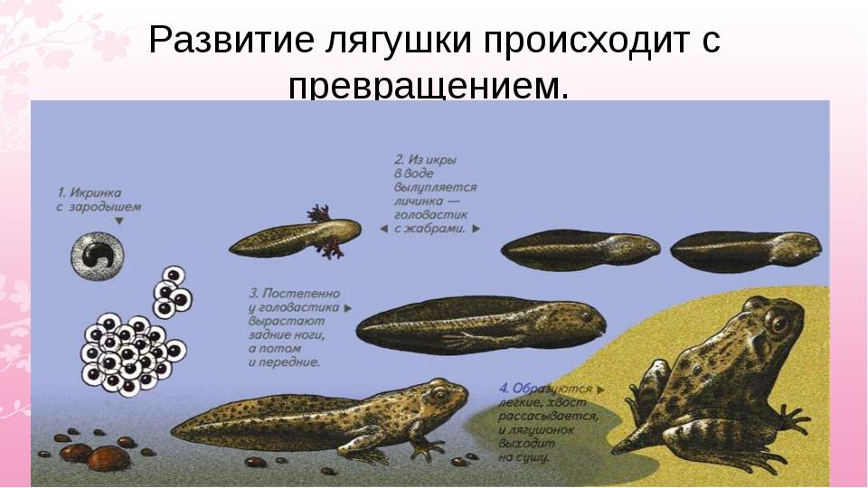 Развитие лягушки происходит с превращением.