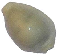 Раковина морей каури