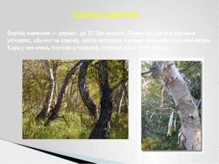 Берёза каменная — дерево до 12-15м высоты. Привыкла расти в суровых условиях,