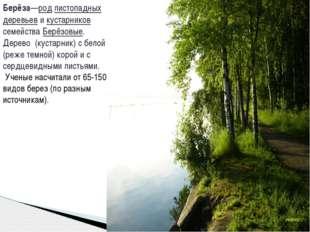 Берёза—род листопадных деревьев и кустарников семейства Берёзовые. Дерево (ку
