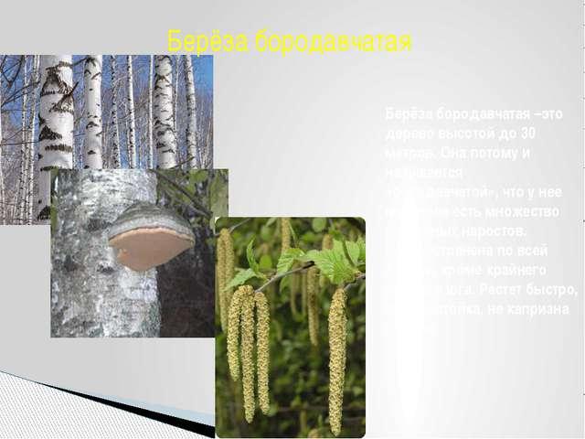 Берёза бородавчатая –это дерево высотой до 30 метров. Она потому и называется...