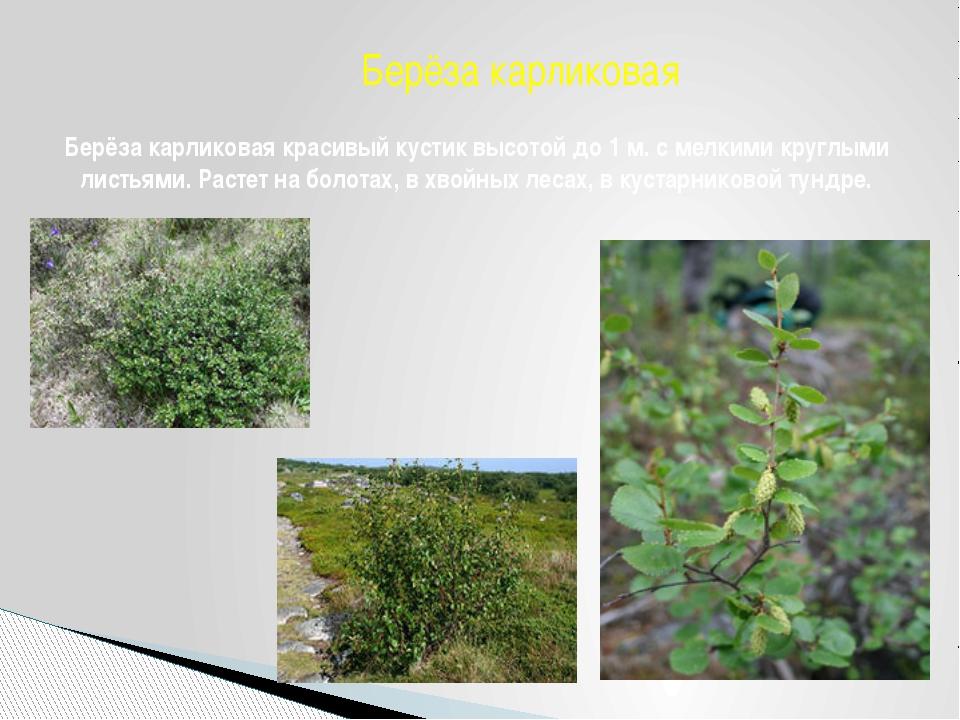 Берёза карликовая красивый кустик высотой до 1 м. с мелкими круглыми листьями...