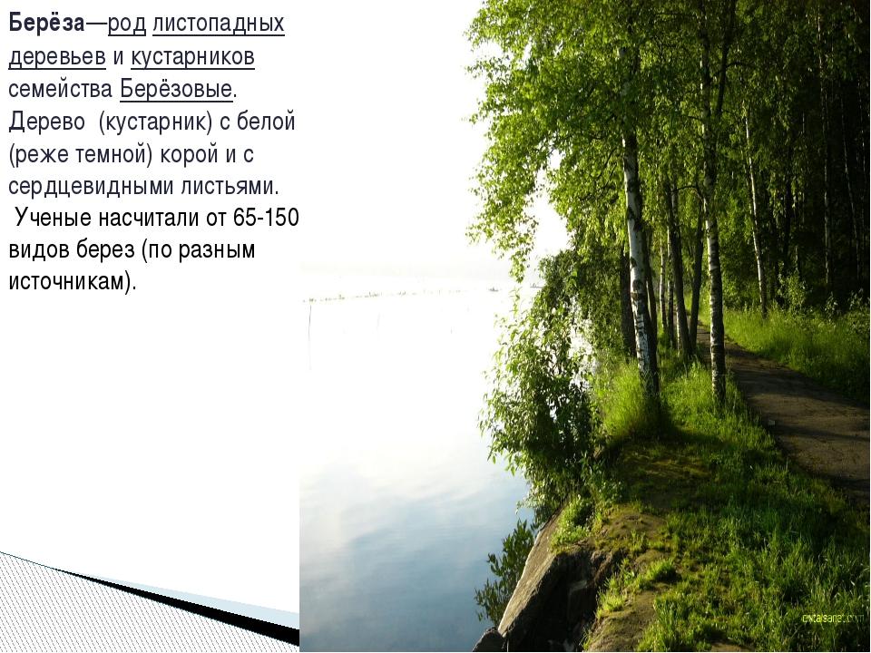 Берёза—род листопадных деревьев и кустарников семейства Берёзовые. Дерево (ку...