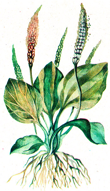 подорожник большой, подорожник, ранник, поризник, подорожник великий, бабка, чирьевая трава (Plantago major), рисунок, картинка