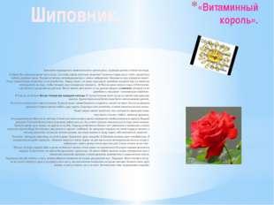 «Витаминный король». Шиповник-прародитель замечательного цветка розы. Царицей