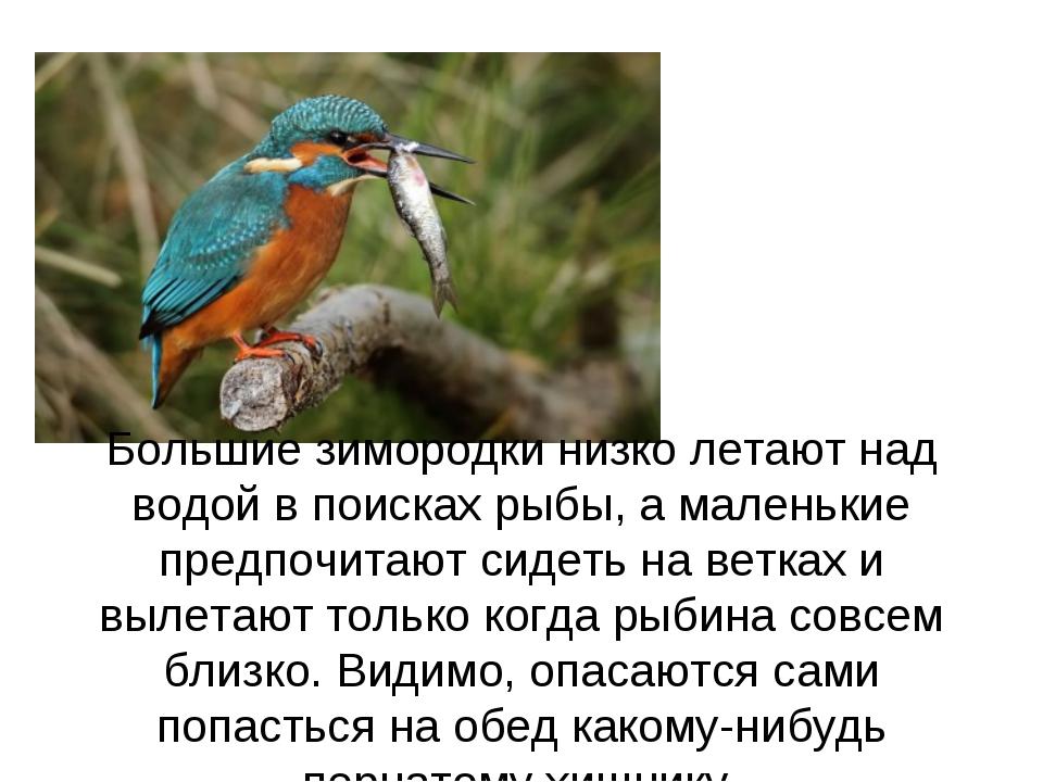 Большие зимородки низко летают над водой в поисках рыбы, а маленькие предпочи...