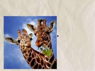 №11 У жирафа шея длинная, чтобы объедать листья с верхушек деревьев.