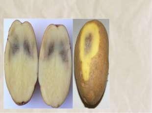 №12 Потемнение картофеля – признак того, что он вырос на каких‑то вредных для