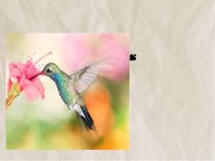 №14 Колибри питаются только нектаром цветов.
