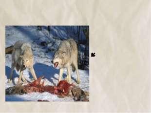 №3 Волки едят только мясо.