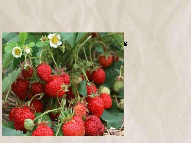 №13 Садовая клубника (садовая земляника) – результат селекции лесной земляники.