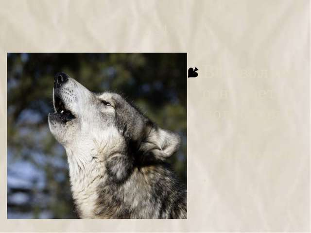№4 Вой волков означает подготовку к нападению.