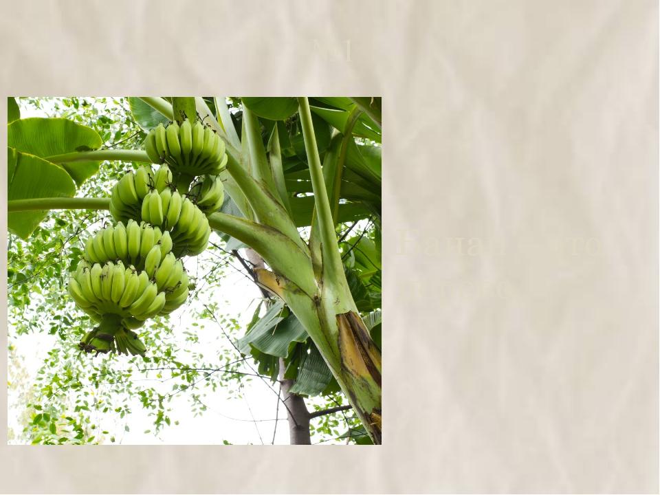 №1 Банан – это дерево.