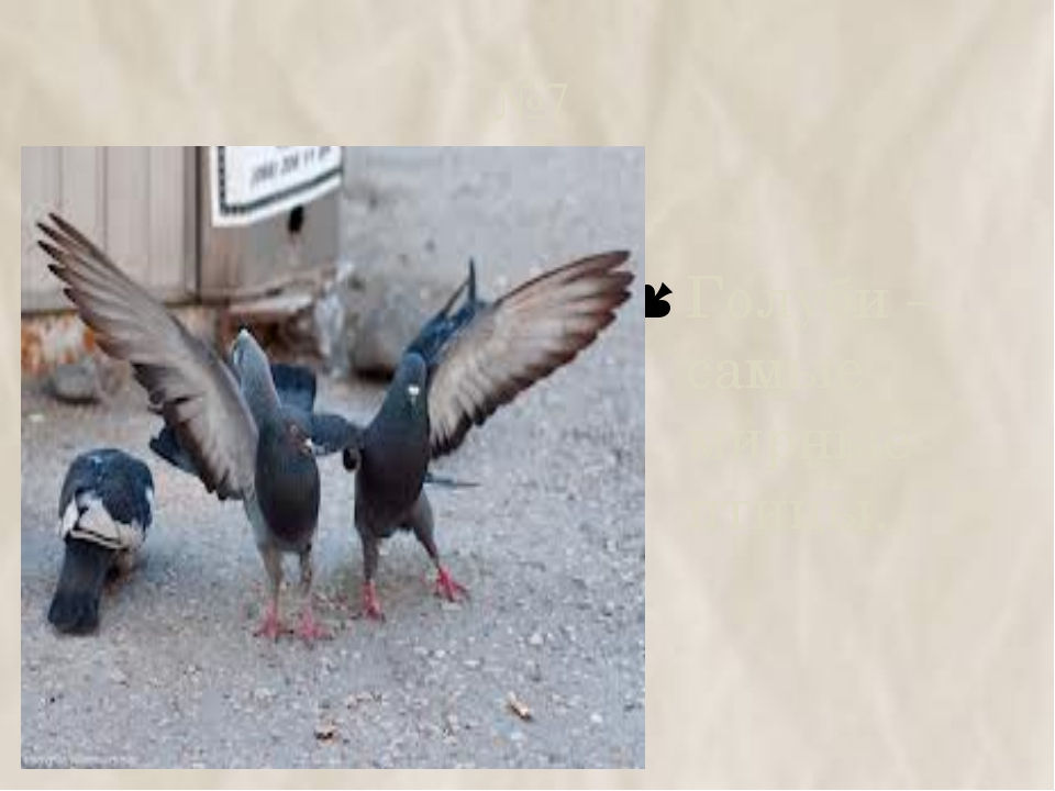 №7 Голуби – самые мирные птицы.