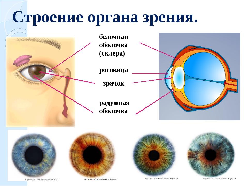 Строение органа зрения. белочная оболочка (склера) роговица зрачок радужная о...