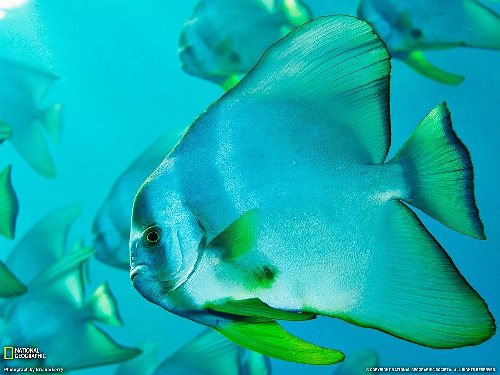 Рыба-лопата