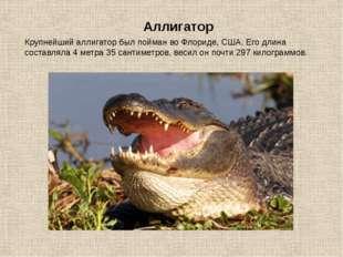 Крупнейший аллигатор был пойман во Флориде, США. Его длина составляла 4 метра