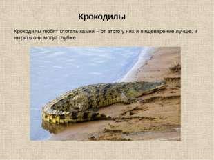 Крокодилы любят глотать камни – от этого у них и пищеварение лучше, и нырять
