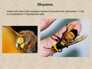 Шершень  Азиатский гигантский шершень кусается больнее всех насекомых. У нас
