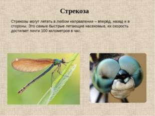Стрекоза Стрекозы могут летать в любом направлении – вперёд, назад и в сторон
