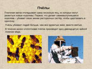 Пчелиная матка откладывает сразу несколько яиц, из которых могут развиться но