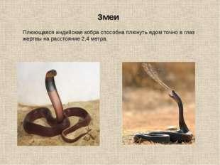 Змеи Плюющаяся индийская кобра способна плюнуть ядом точно в глаз жертвы на р