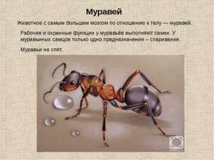 Животное с самым большим мозгом по отношению к телу — муравей. Муравей Рабочи
