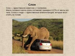 Слон — единственное животное с 4 коленями. Масса головного мозга слона состав