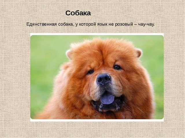 Собака Единственная собака, у которой язык не розовый – чау-чау.