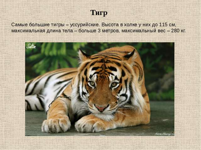 Тигр Самые большие тигры – уссурийские. Высота в холке у них до 115 см, макси...