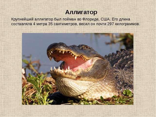 Крупнейший аллигатор был пойман во Флориде, США. Его длина составляла 4 метра...