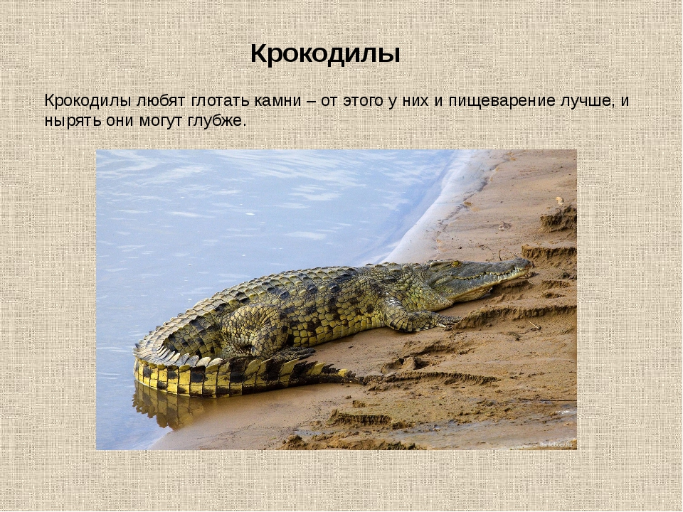 Крокодилы любят глотать камни – от этого у них и пищеварение лучше, и нырять...