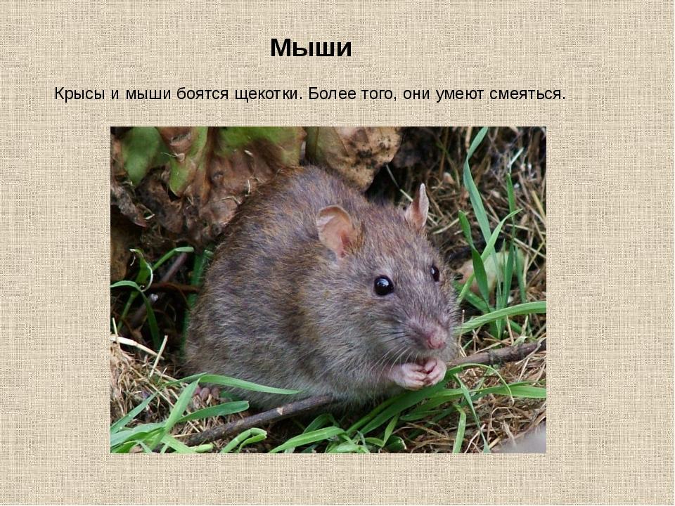 Мыши Крысы и мыши боятся щекотки. Более того, они умеют смеяться.