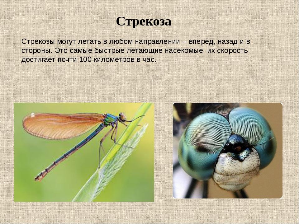 Стрекоза Стрекозы могут летать в любом направлении – вперёд, назад и в сторон...