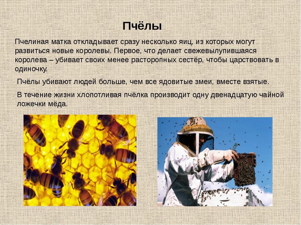 Пчелиная матка откладывает сразу несколько яиц, из которых могут развиться но...