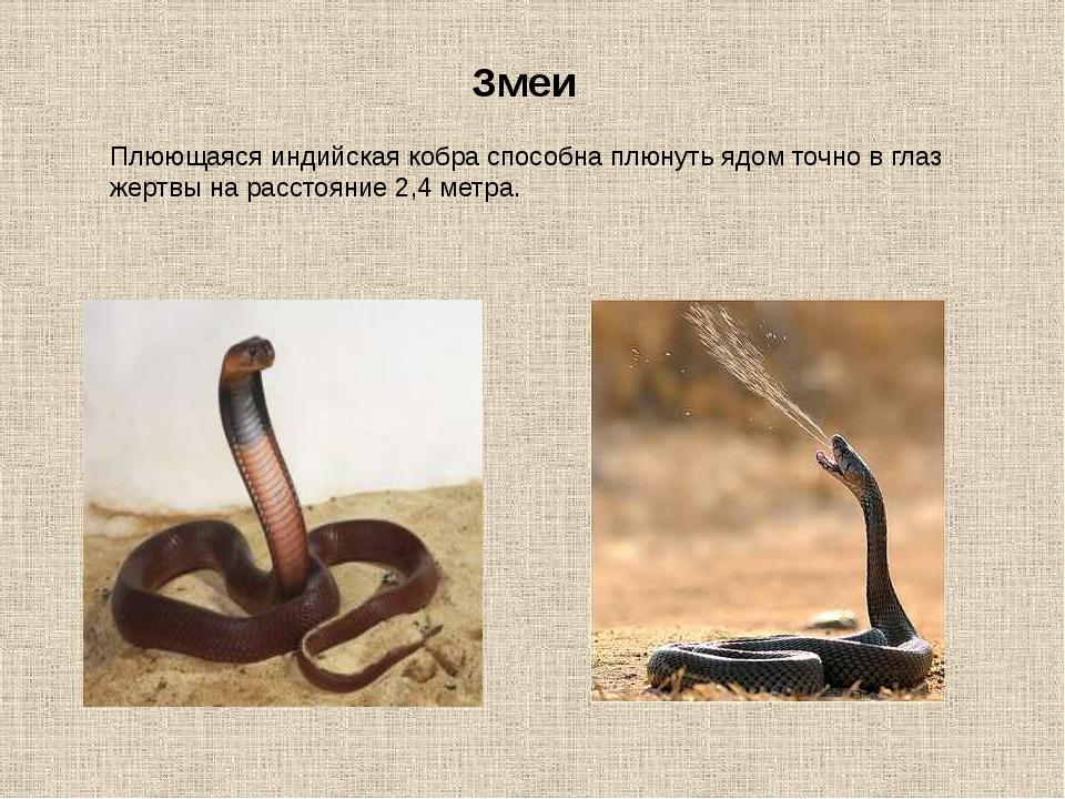 Змеи Плюющаяся индийская кобра способна плюнуть ядом точно в глаз жертвы на р...