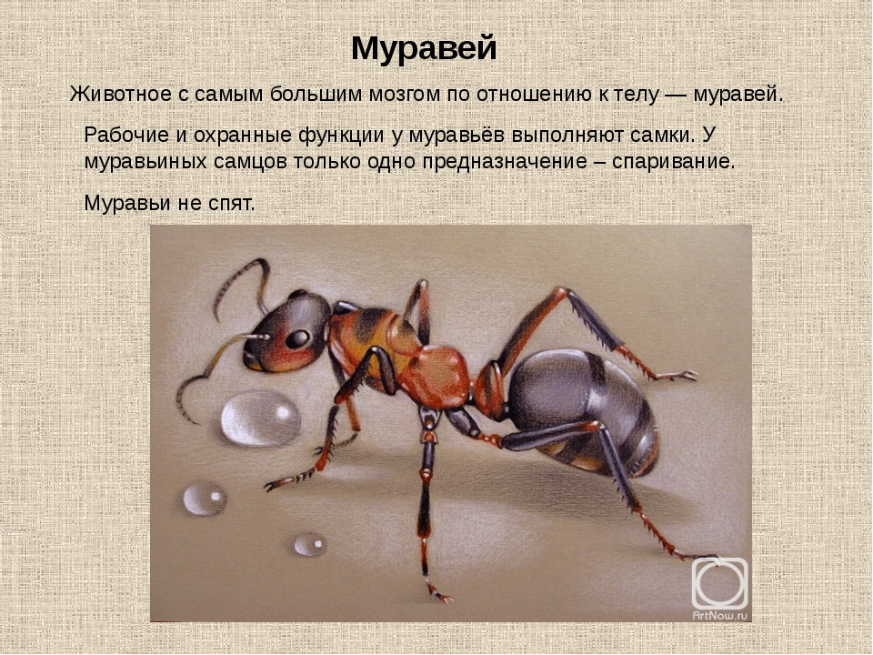 Животное с самым большим мозгом по отношению к телу — муравей. Муравей Рабочи...