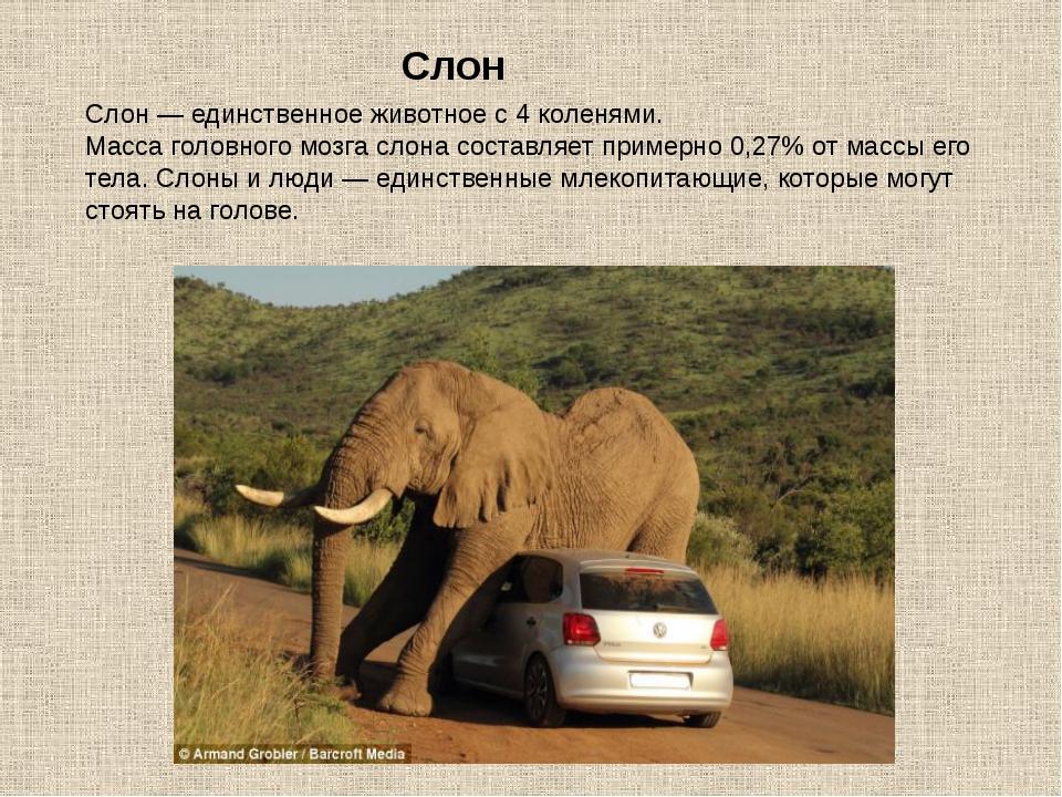 Слон — единственное животное с 4 коленями. Масса головного мозга слона состав...