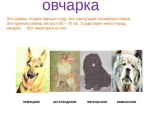немецкая шотландская венгерская кавказская овчарка Это собака- сторож овечьи