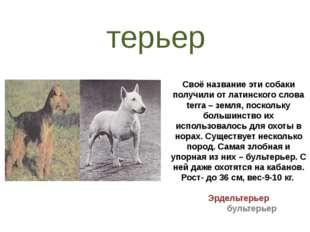 Своё название эти собаки получили от латинского слова terra – земля, поскольк