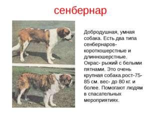 сенбернар Добродушная, умная собака. Есть два типа сенбернаров- короткошерстн